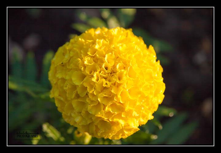 Marigold2015-3-Edit